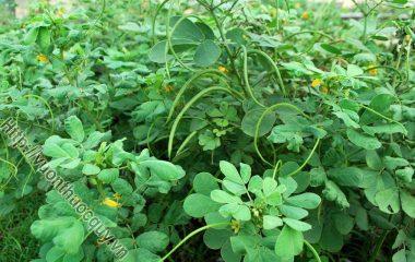 Hạt muồng hình trụ 2 đầu vát chéo màu nâu xỉn, bóng. Nếu không thu hoạch đến khi khô quả tự tách vỏ tung hạt. Quả muồng thường chín vào cuối mùa thu, khi thu hái lấy quả...