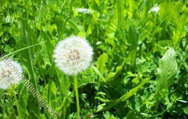 Những Lợi Ích Của Cây Bồ Công Anh; Trong suy nghĩ của nhiều người, bồ công anh chỉ là một loại cỏ dại mà không hề biết tới những lợi ích...