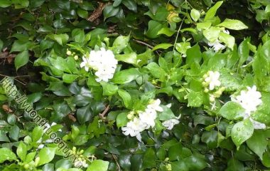Hoa Ngâu Vị Thuốc Tốt Cho Chị Em; Hoa ngâu nhỏ, màu vàng, mọc thành chùm ở kẽ lá, rất thơm, thường được dùng để ướp trà và làm vị thuốc. Hoa ngâu có vị cay ngọt...