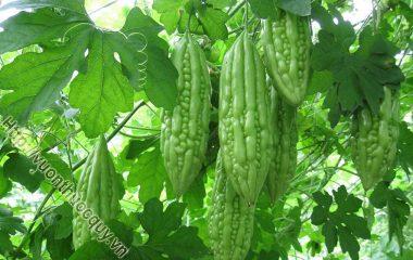 Khổ qua (Mướp đắng) là món ăn quen thuộc trong bữa ăn của người Việt Nam. Có mùi thơm, vị đắng đặc trưng được dân gian sử dụng để chữa các bệnh tiểu đường, thấp khớp, chốc lở, vàng da…