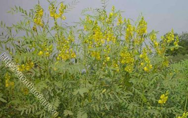 Phan Tả Diệp Hỗ Trợ Giúp Giải Độc; Tên khoa học Cassia angustifolia Vahl. Tên tiếng Anh là Senna, tiếng Pháp là folioles de Sene. Là một lá...