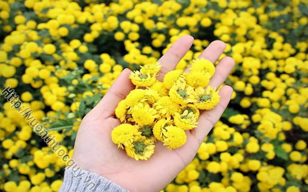 Hoa Cúc Làm Thuốc