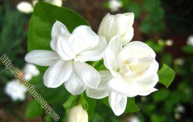 Hoa nhài được sử dụng rất nhiều trong các sản phẩm làm đẹp nhờ các chất giúp cải thiện nhan sắc của nó. Vì thế, có nhiều lý do khiến bạn không thể bỏ qua loại hoa có mùi thơm đặc trưng...