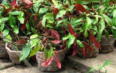 Công dụng của lá Đơn đỏ chữa mề đay có lẽ mọi người đã nghe qua nhiều, nhưng hiểu rõ về loại cây này thì không phải ai cũng biết. Đây là loại cây nhỏ, chỉ cao khoản 1m, mặt trên lá có màu lục bóng...