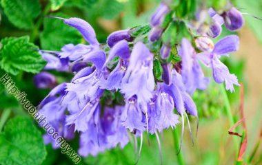 Đan sâm còn gọi huyết căn, xích sâm, huyết sâm, tử đan sâm, là rễ khô của cây đan sâm (Salvia miltiorrhiza Bunge.), thuộc họ Bạc hà (Lamiaceae). Đan sâm có hợp chất phenol, diterpen, ox-sitosterol, tanin, vitamin E...