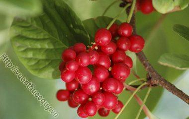 Ngũ Vị Tử Hỗ Trợ An Thần; Ngũ vị tử là quả chín phơi hay sấy khô của cây ngũ vị (Schisandra sinensis Baill.), thuộc họ ngũ vị tử (Schisandraceae)...