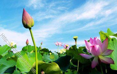 Những Công Dụng Quý Của Lá Sen:Lá sen tính mát,vị cay, lợi về các kinh can, tỳ, vị. Ngoài ra, loại lá này còn giúp hạ nhiệt, làm tan những ứ tụ và cầm máu...