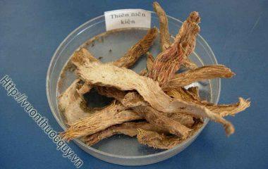 Theo Viện Dược liệu, Thiên niên kiện là cây thuốc quý và có trữ lượng lớn của Việt Nam. Ở nước ta, ngoài loài Homalomena occulta (Lour.) Schott, thuộc họ Ráy – Araceae, có vùng phân bố rộng nhất...