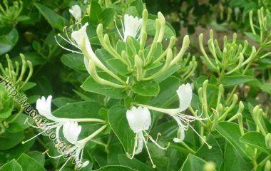 Kim ngân hoa hay còn có tên gọi khác là nhẫn đông hoa. Sở dĩ có tên này vì cây không những có khả năng chịu đựng được mùa đông mà còn có thể phát triển xanh tốt vào giai đoạn thời tiết...