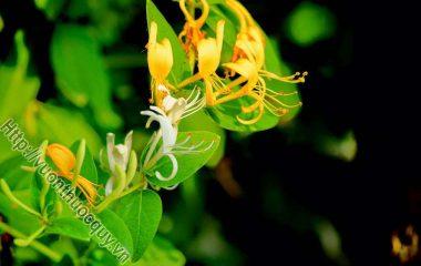 Kim ngân còn có tên khác là nhẫn đông, kim ngân hoa là nụ hoa của cây nhẫn đông (Lonicera japonica Thunb.). Nhẫn đông đằng là dây leo của cây nhẫn đông (hay gọi là kim ngân dây)...