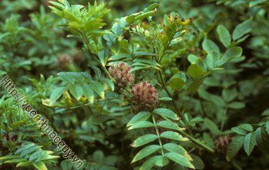 Một Số Lưu Ý Khi Dùng Cam Thảo Bắc; Trong thuốc Đông y, cam thảo bắc là một vị thuốc bổ khí, có tác dụng nâng đỡ chân khí trong cơ thể, chống suy nhược...