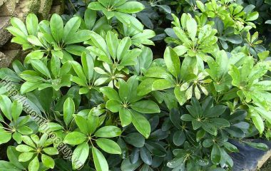 Ngũ Gia Bì Hỗ Trợ Trừ Phong Thấp; Ngũ gia bì (Acanthopanax aculeatus) còn gọi là xuyên gia bì, thích gia bì, là cây thân gỗ cao tới 2-3m...