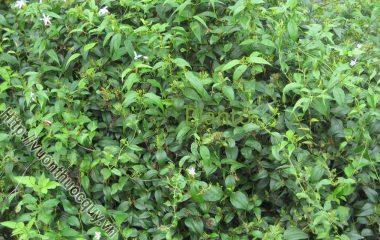 Cây chè vằng mọc hoang ở khắp nơi, là loại cây bụi nhỏ, đường kính thân không quá 6mm. Thân cứng, từng đốt vươn dài hàng chục mét, phân nhánh nhiều. Vỏ thân nhẵn màu xanh lục...