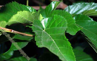 Lá Dâu Hỗ Trợ Giải Nhiệt; Cây dâu được trồng rất nhiều ở nước ta. Quả dâu ngon, giàu dinh dưỡng, làm thức uống giải khát tuyệt vời trong mùa hè. Các bộ phận...