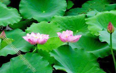 Từ xưa, sen đã được tôn thờ như một loài hoa đẹp, thanh khiết, gắn liền với thế giới tâm linh của người Việt. Sen là cây vừa làm cảnh, vừa làm thực phẩm lại cho nhiều vị thuốc quý. Các bộ phận của cây sen, từ rễ đến ngọn...