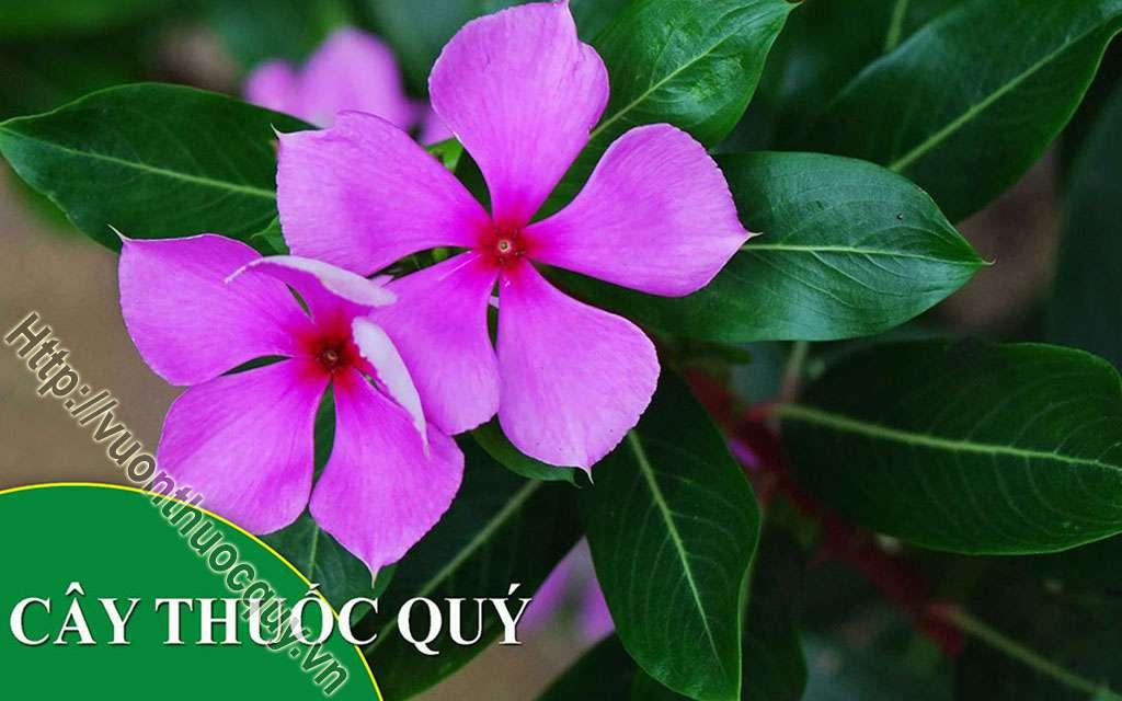 Mua Cây Dừa Cạn Ở Đâu Tốt ?