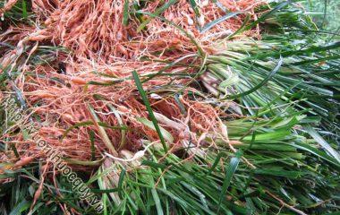 Mạch Môn Đông Vị Thuốc Quý; Người ta dùng rễ củ phơi hay sấy khô (Radix Ophiopogoni) của cây mạch môn đông. Vì lá giống lá lúa mạch, về mùa đông lá vẫn xanh...