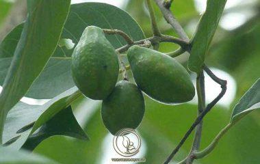 Khi nghiên cứu các loại thảo dược được sử dụng trong hệ thống Y học cổ đại Ấn Độ Ayurveda với hơn 5000 năm lịch sử, các nhà khoa học đã phát hiện ra một trong những loại thảo dược được sùng kính...