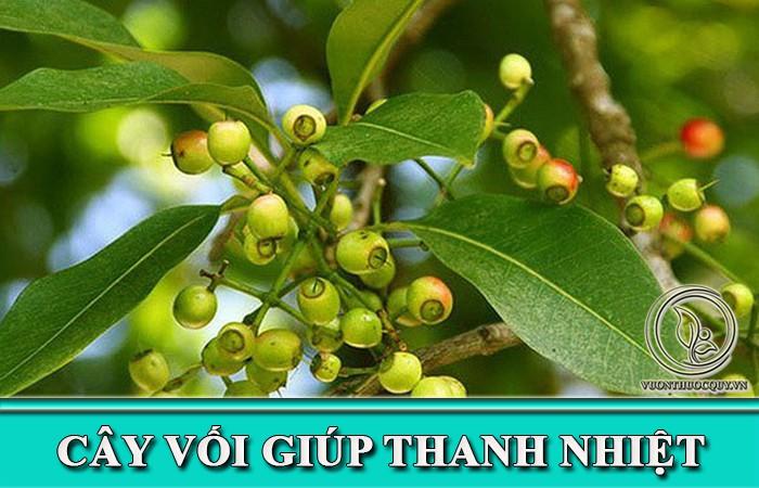 Cây Vối Giúp Thanh Nhiệt
