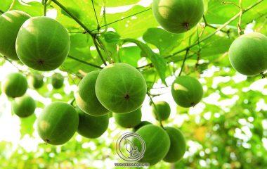 Theo y học cổ truyền, Quả La Hán có vị ngọt, tính mát, không độc, đi vào 2 kinh phế và đại tràng. Có tác dụng nhuận phế lợi hầu, hóa đàm chỉ khái, nhuận tràng thông tiện. Trong đông y thường dùng để chữa ho do phế nhiệt...