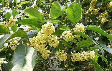 Cây quế chi có tên khoa học Cinnamomum cassia Presl, thuộc họ Long não. Quế chi có tác dụng kích thích vị giác và hỗ trợ tiêu hóa nên thường được dùng như một loại gia vị. Ngoài ra, dược liệu này cũng được sử dụng...