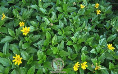 Cây sài đất còn được gọi là cây hoa múc, hùng trám, thường mọc trên mặt đất với tốc độ sinh trưởng khá nhanh. Thân cây dài có màu xanh kèm theo lông trắng và cứng. Lá của cây có hình bầu dục và gần như không có cuống kèm theo...