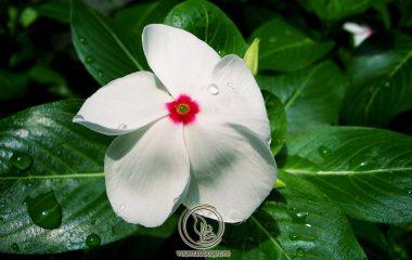 Dừa cạn còn có tên là bông dừa, hải đằng. Tên khoa học là Catharanthus Roseus (L.) G. - Don Apocynaceae. Là loại cây cỏ cao khoảng 40 - 60cm. Lá hình trứng mọc đối, mặt trên của lá màu xanh đậm, mặt dưới xanh nhạt...