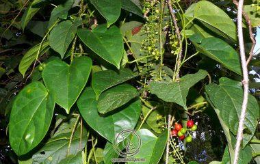 Dây đau xương còn gọi là khoan cân đằng, một loài thực vật có hoa trong họ Biển bức cát. Loại cây này mọc nhiều ở nơi có khí hậu nhiệt đới, vô cùng thích hợp với tiết trời Việt Nam, đặc biệt là miền núi phía Bắc như Hà Giang, Lào Cai, Sơn La, Bắc Kạn...