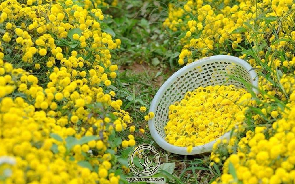 Những Điều Cần Biết Về Cúc Hoa