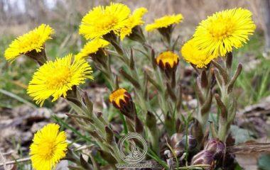Khoản đông hoa là cụm hoa có hình chùy dài. Thông thường sẽ có từ 2 - 3 cụm hoa mọc đơn độc hoặc cùng mọc trên một cành. Dược liệu có đường kính 0,5 - 1cm, có chiều dài từ 1 - 2,5cm. Phần trên của dược liệu rộng hơn...