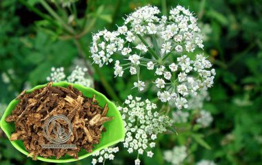 Dược liệu khương hoạt là thân rễ (phần nằm dưới đất) là rễ của cây khương hoạt - Notopterygium incisium Ting. Khương hoạt là loài thực vật sống lâu năm, chiều cao chỉ khoảng 50 – 100cm. Cây không phân nhánh, toàn cây có mùi thơm...