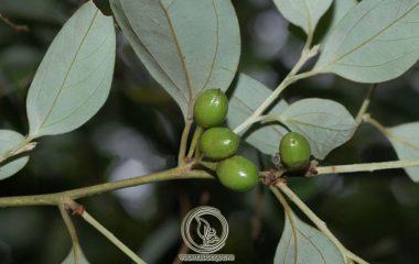 Ô dược là thảo dược quý hiếm, có chiều cao từ 1 - 15m. Cành cây có màu đen, gầy, lá hình bầu dục, mọc so le, chiều dài khoảng 6cm và rộng khoảng 1.5 - 3cm. Mặt dưới của lá có lông tơ nhỏ, mặt trên bóng, cuống lá nhỏ...