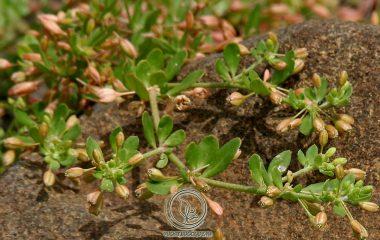 Ở nước ta, rau đắng thường được dùng để chỉ một số loại cây thuộc loại thảo, có vị đắng,vừa để làm rau ăn với tác dụng bổ mát, thanh nhiệt, giải độc cơ thể, vừa để làm thuốc trị một số bệnh thường gặp như viêm gan vàng da...