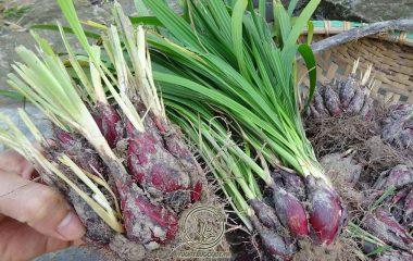 Sâm đại hành là loại cây thảo sống dai có chiều cao trung bình 30 cm. Củ hình trứng nhìn giống như củ hành nhưng bên ngoài vẩy có màu đỏ nâu và bên trong có màu nâu hồng hoặc đỏ nâu. Thông thường, củ có chiều dài 4 – 5 cm...