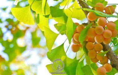 Bạch quả có tên khoa học Ginkgo biloba L. thuộc họ Ginkgoaceae. Có vị cay, ngọt, tính ấm, ít độc. Đi vào kinh phế. Về công năng có tác dụng liễm phế định suyễn, trị ho, chữa huyết trắng. Đông y thường dùng bạch quả...