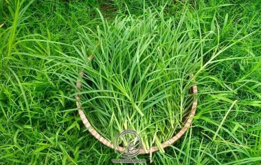 Cỏ Mần Trầu còn gọi cỏ vườn trầu, màn trầu, màng trầu, thanh tâm thảo, cỏ chỉ tía, ngưu cân thảo. Tên khoa học: Eleusine indica (L.) Gaerth.f., họ lúa (Poaceae). Bộ phận dùng làm thuốc là toàn cây, dạng tươi hay khô...