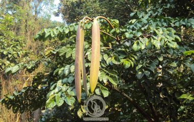 Hoàng bá là một loại thực vật dạng thân gỗ, to, sống nhiều năm. Cây có chiều cao trung bình từ 10 – 17 mét, có nhiều cành. Toàn thân và cành bao bọc một lớp vỏ dày máu xám hoặc nâu xám, mặt trong vỏ có màu vàng...