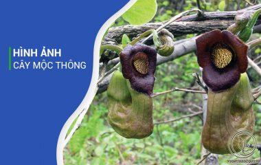 Mộc thông là cây thân leo, dài khoảng 7 – 10m. Thân nhỏ, lá mọc đối xứng, gân lá lông chim và có cuống. Phiến lá rộng từ 3 – 6cm và dài từ 6 – 9cm. Hoa nhỏ, mọc ở kẽ lá, cây có hoa đực và hoa cái mọc ở khác gốc...